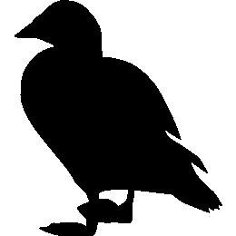 Обыкновенная гага